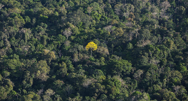 Ipê Amazônico